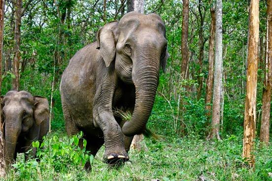 Elephant in Forest Not Good at Hide and Seek